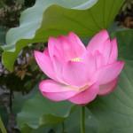 lotus15