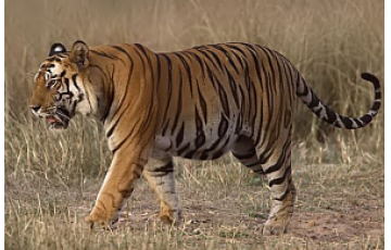 Walk Like A Tiger