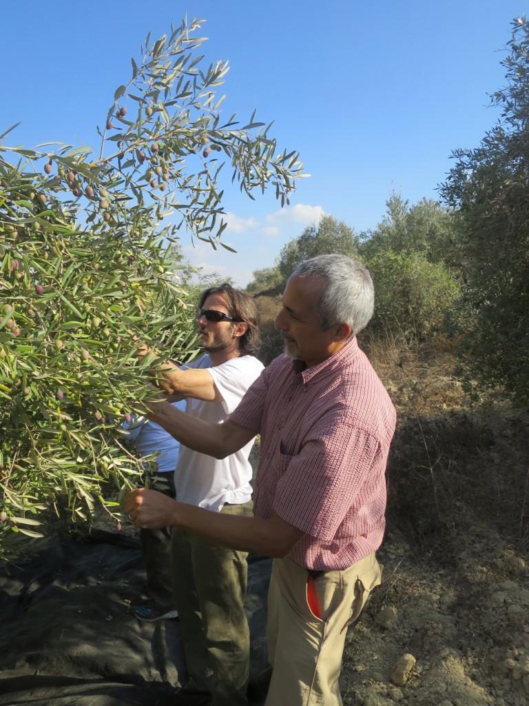 Mick and Carlos picking olives near Har'es.