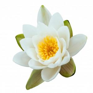 lotus-flower-on-white